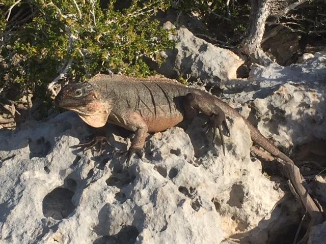 iguana on rock.jpg