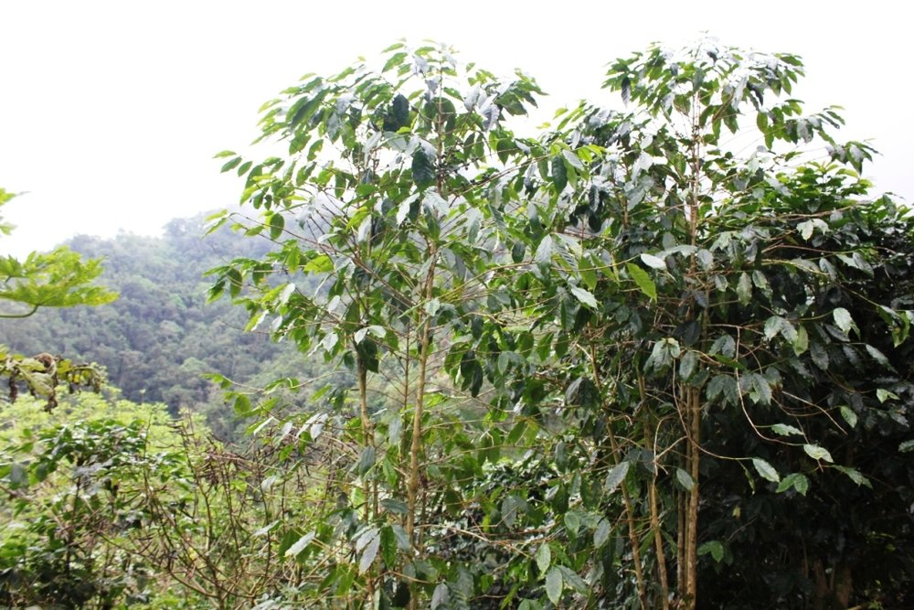 Coffee Bush (tree)