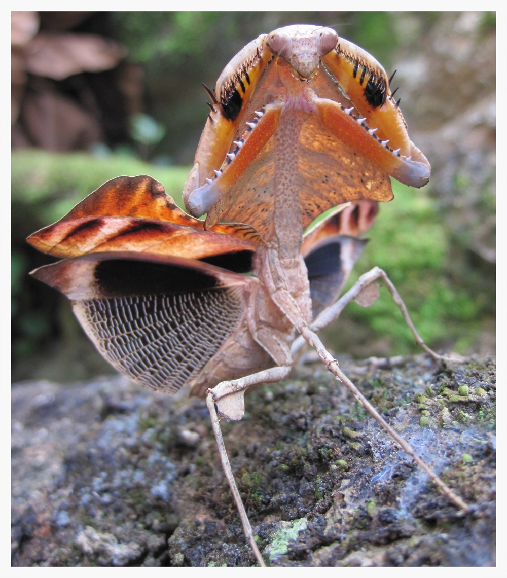 Deroplatys sp.  (dead leaf mantis) performing its deimatic display. Photo: James O'Hanlon