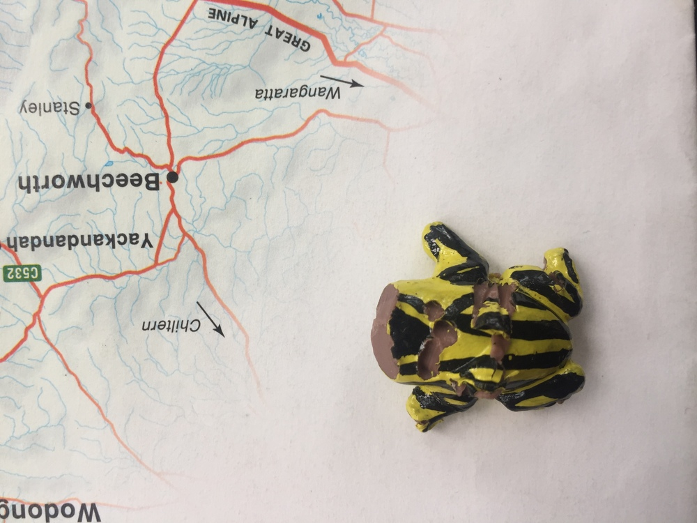 An attacked corroboree frog model Photo: Kate Umbers