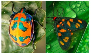 Harlequin bug,  Tectocoris diophthalmus  (left), tiger moth,  Amata annulata  (right).  Images from: Flickr.com and brisbaneinsects.com