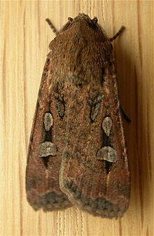 https://en.wikipedia.org/wiki/Bogong_moth