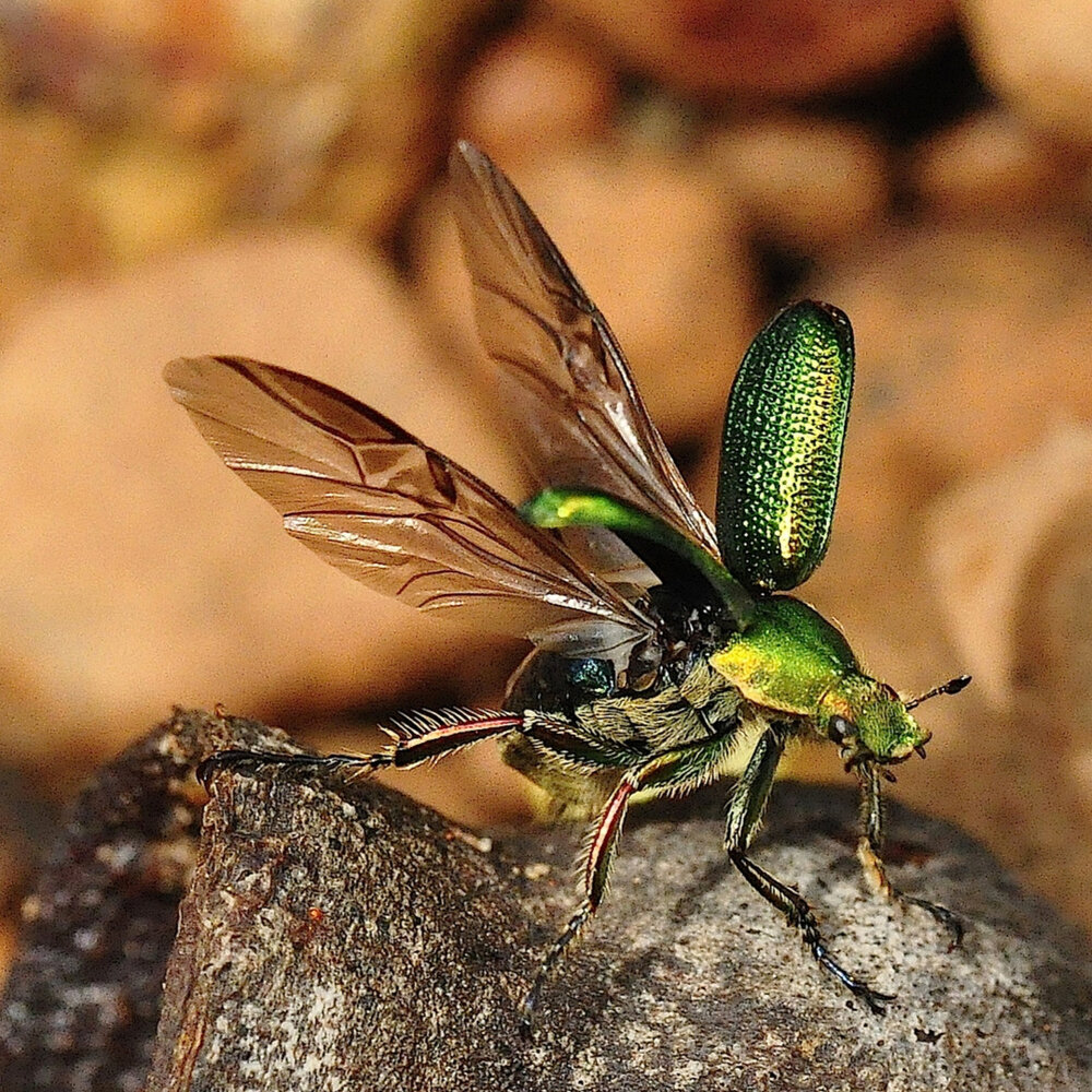 A green beetle… in Yeegarup National Park, W.A. © Kate Umbers