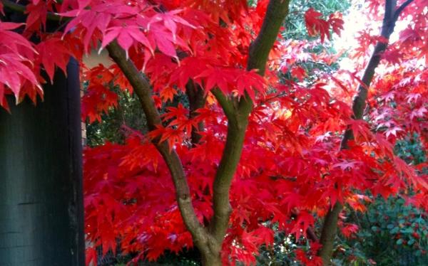 Red tree outside my window.