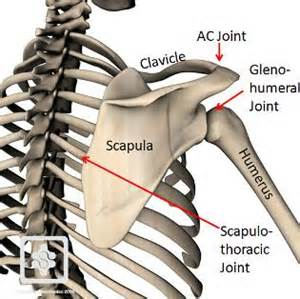 Courtesy of: conornordengren.com/2011/10/14/the-shoulder-girdle-part-1-bones-and-joints-2/
