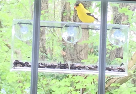 American goldfinch at our window feeder