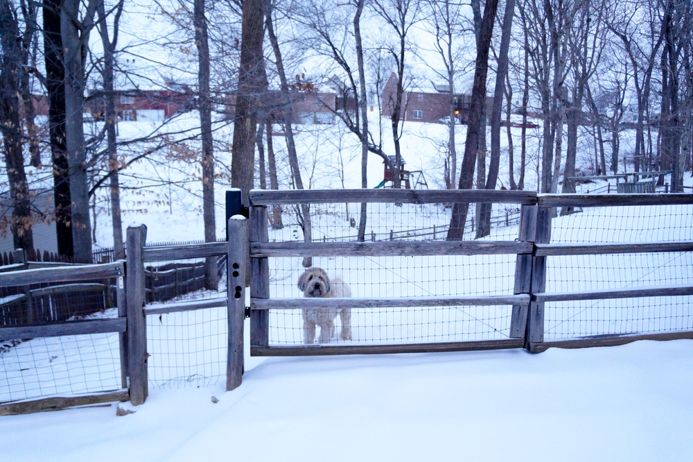 Soft-coated golden wheaten terrier Merida Rose watching us sled down the driveway.