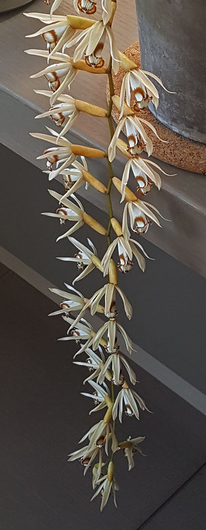 Coelogyne massangeana, grown & photographed by Dan