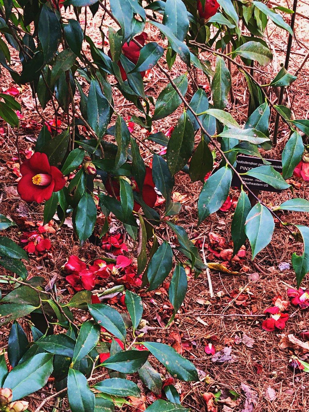 Camellias.jpg