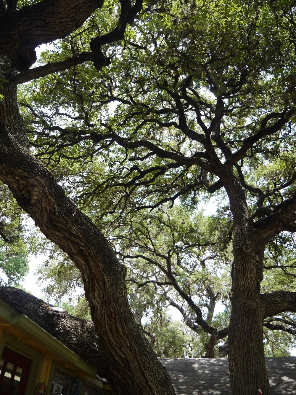 Shady oak trees