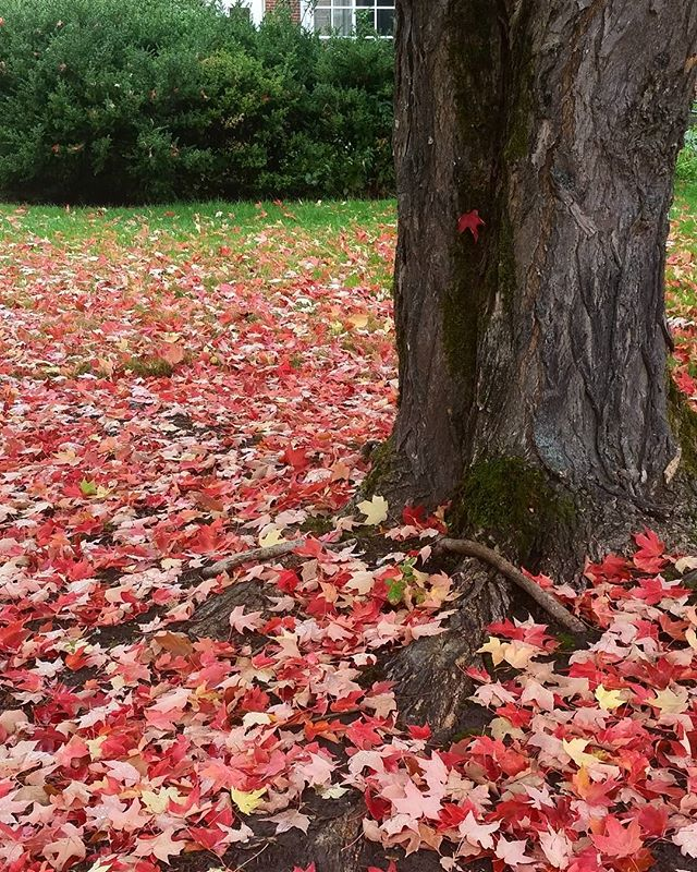 Obsessed with foliage. . . . #livingwithlocks #blogging #travelblogging #travel #photography #fall #fallweather #fallfoliage #foliage #colors #autumn #changingcolors #leaves #trees #green #red #naturephotography #naturewalks #pnw #oregonnw #oregon #weather #discoverpnw #explore #explorepnw #outdoors #gooutdoors