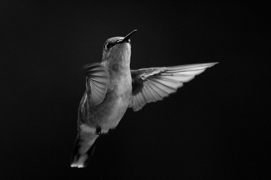 Humming Bird, 2012  Kansas, United States  300mm f/5.7 1/2000 sec ISO 6400