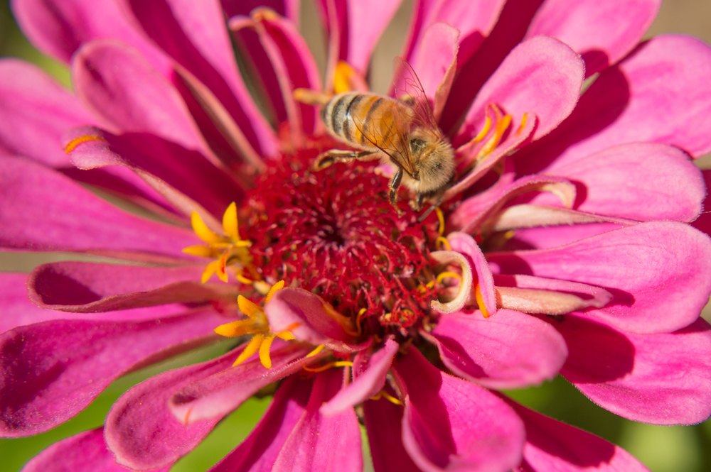 Bee on a Flower    Nikon D3200 • Nikon 18-55mm lens • 42mm • F/5.6• 1/640s • ISO 100