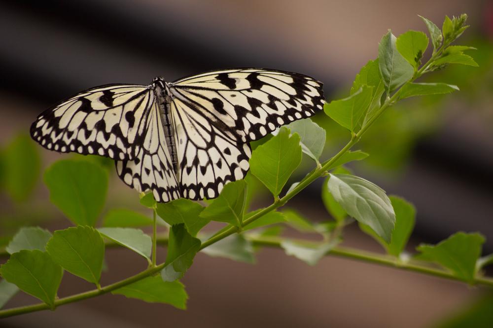 Butterfly    Nikon D3200 • Nikon 55-200mm lens • 150mm • F/5.6 • 1/320s ISO 400