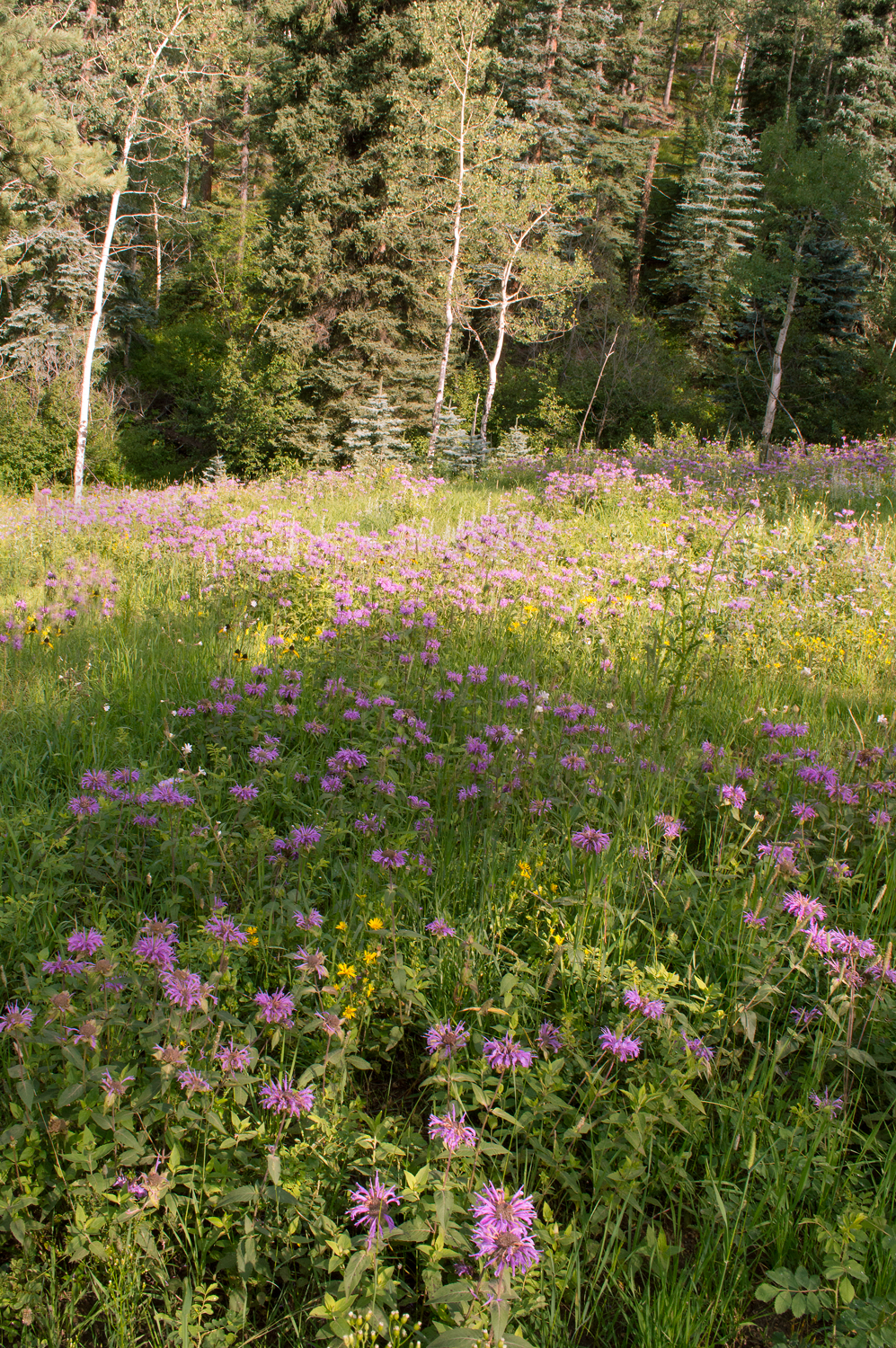 Mountain Wildflowers, Evergreen, CO    Nikon D3200 • Nikon 18-55mm lens • 15mm • F/22 • 1/50s • ISO 400