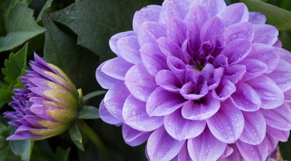 Lavender Dahlia    Nikon D3200 • Nikon 18-55mm lens • 55mm • F/5.6 • 1/30s • ISO 200