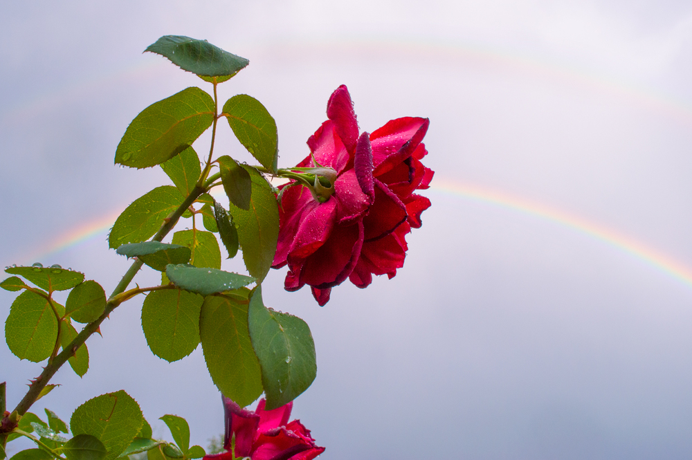 Rainbow and the Rose    Nikon D3200 • Nikon 18-55mm lens • 18mm • F/10 • 1/250s • ISO 400