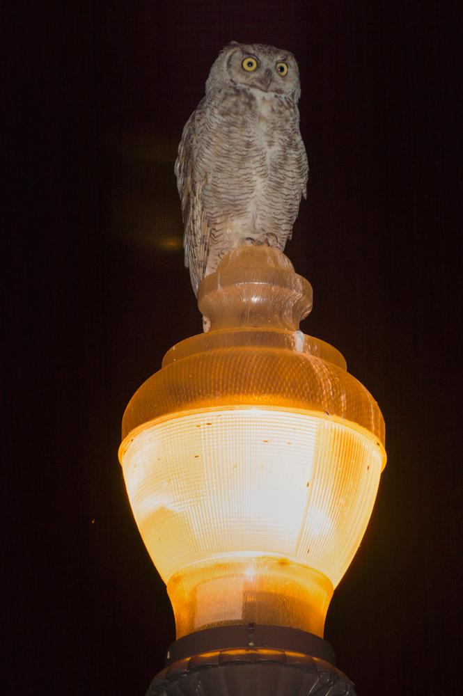 Great Horned Owl    Nikon D3200 • Nikon 55-200mm lens • 150mm • F/5 • 1/200s • ISO 100
