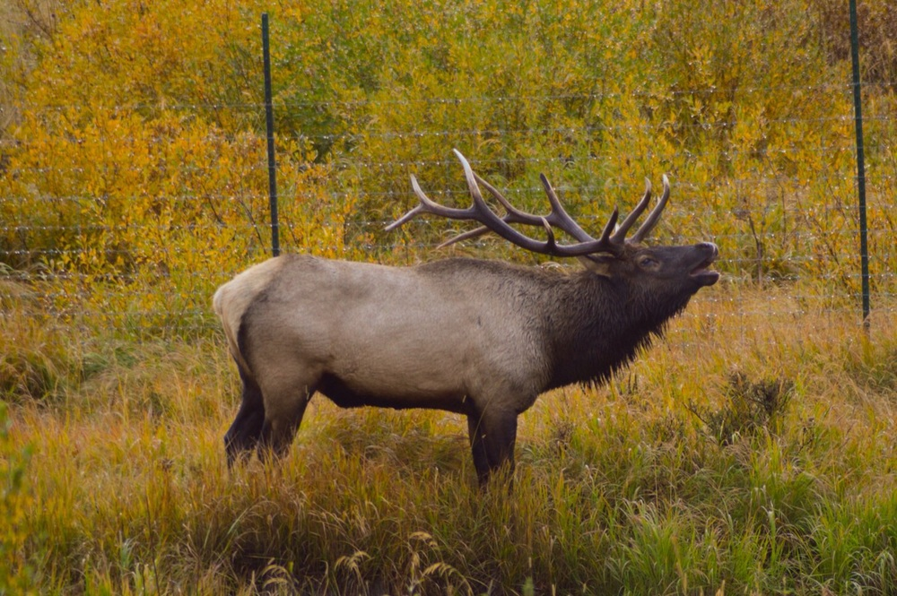 Bull Elk Bugling, RMNP