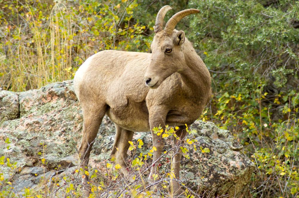 Rocky Mountain Big Horn Sheep    Nikon D3200 • Nikon 70-300mm lens • 195mm • F6.3 • 1/100s • ISO 800