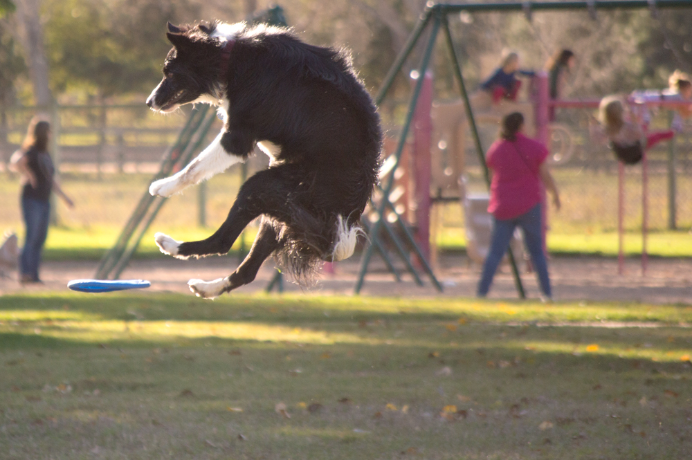 Dog chasing Frisbee    Nikon D3200 • Nikon 55-200mm lens • 200mm • F/5.6 • 1/800s • ISO 400
