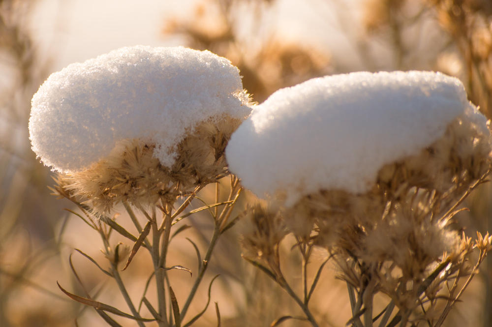 Snow Capped Plants    Nikon D3200 • Nikon 55-200mm lens • 125mm • F/6.3 • 1/400s • ISO 100