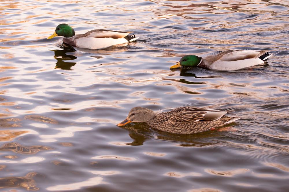 Duck Race    Nikon D3200 • Nikon 55-200mm lens • 55mm • F/6.3 • 1/80s • ISO 400