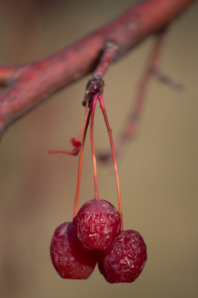 Winter Cherries    Nikon D3200 • Nikon 55-200mm lens • 200mm • F/5.6 • 1/1250s • ISO 400