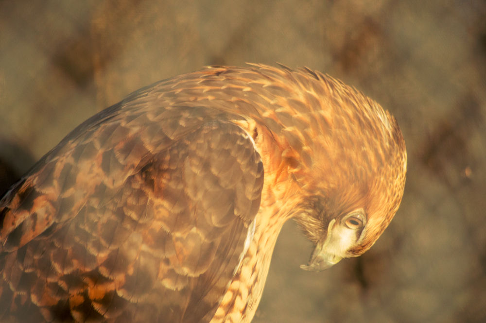 Red Tailed Hawk in Captivity    Nikon D3200 • Nikon 55-200mm lens • 200mm • F/5.6 • 1/80s • ISO 800