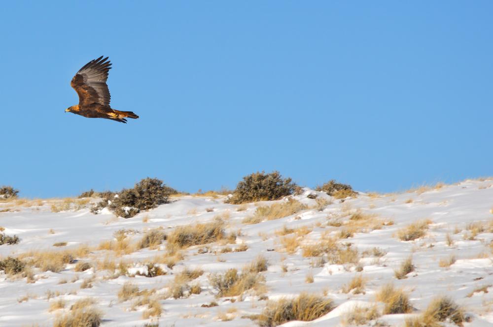 Golden Eagle in Flight    Nikon D3200 • Nikon 55-200mm lens • 200mm • F/8 • 1/1000s • ISO 100