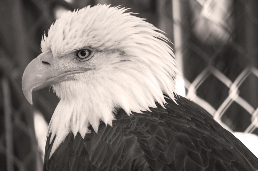 Bald Eagle, Environmental Learning Center    Nikon D3200 • Nikon 55-200mm lens • 200mm • F/5.6 • 1/60s • ISO 800
