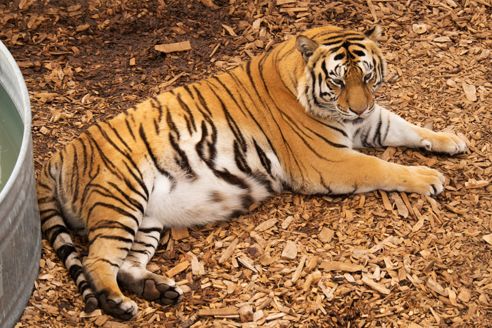 Tiger at Wild Animal Sanctuary  Fujifilm X-E2 • Fuji XF18-135mm lens • 135mm • F/7.1 • 1/90s • ISO 500
