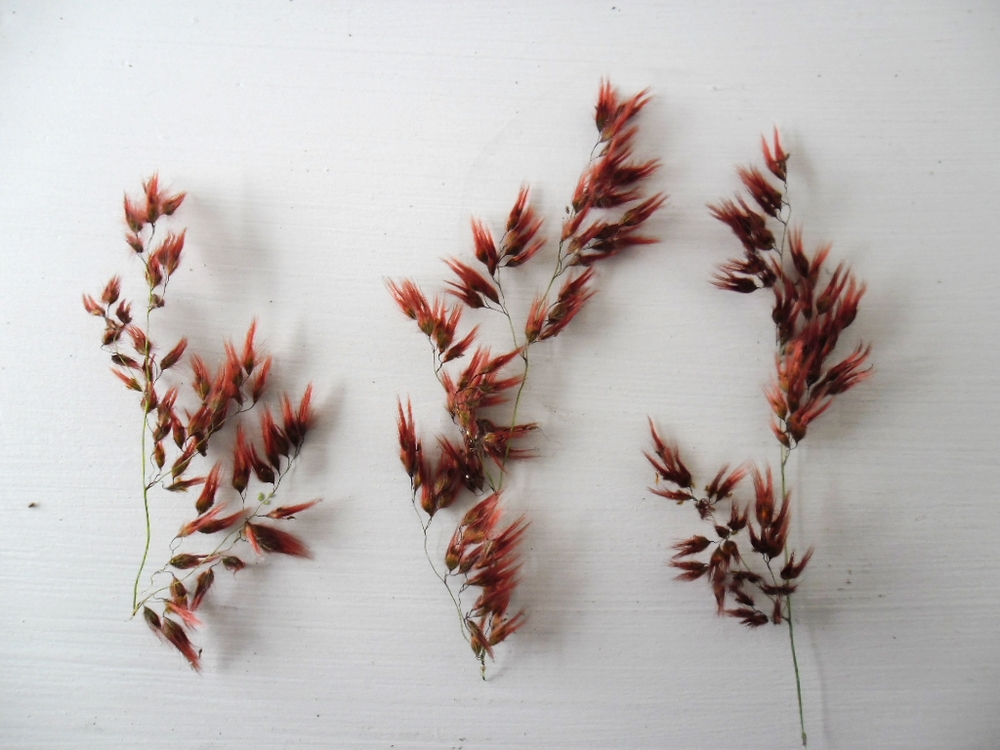 pink feather plant.JPG