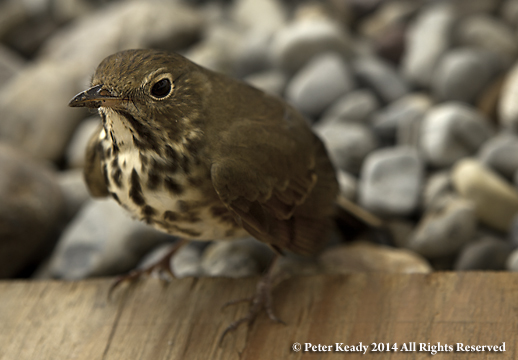 A Hermit Thrush, dazed and wounded, outside of the hotel.