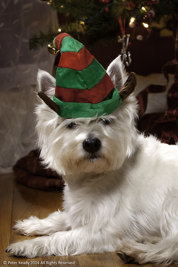 "This is Winston, one of our West Highland Terriers. Occasionally we do strange things with them for photographs. This is his ""Angry Elf"" outfit. Merry Christmas!"