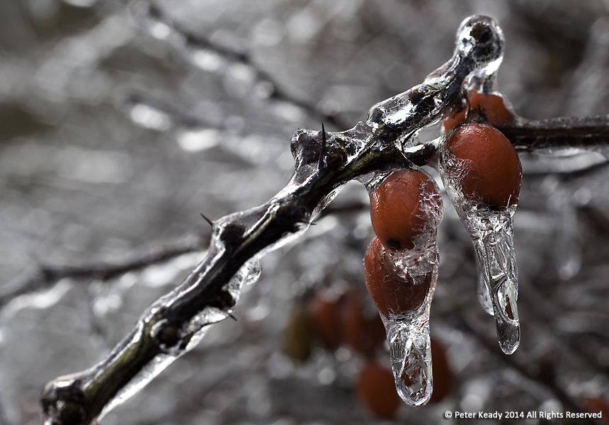 Barberries are encapsulated in wintery ice. How we treat others, especially for those who call themselves Christian, can bring warmth and welcome or an icy chill.