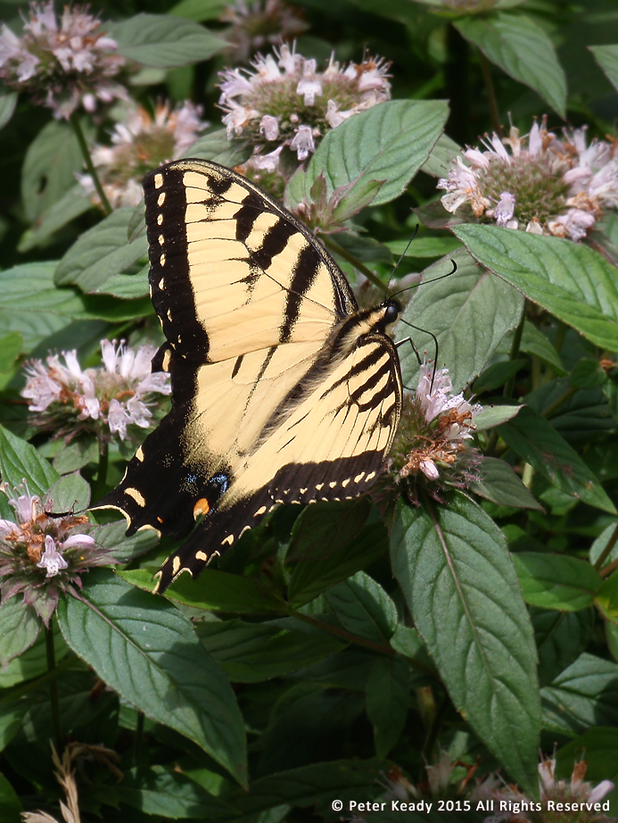 An Eastern Tiger Swallowtail butterfly sips nectar. This Swallowtail wasn't always a butterfly, it had to transform. People are no different. Allow them the grace to do so! ( I took this photo along the Blue Ridge Parkway on a motorcycle trip with an excellent friend in the Nantahala National Forest, the highest point on the Parkway.)
