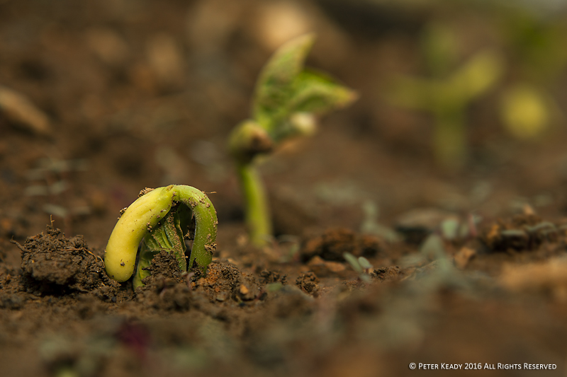 A bush bean sprout pushes through the soil on it's way to maturity and fruit. People, like plants, need room to grow. Setting healthy margins in our lives is just like giving plants room to mature.