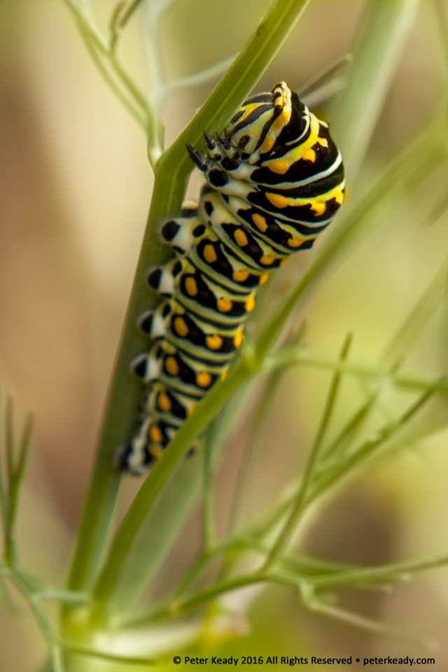A Black Swallowtail butterfly caterpillar, makes short work of my fennel plants in the garden. In order for this worm to change, it can't remain a worm. Change in our organizations requires that one thing become another or cease to be.