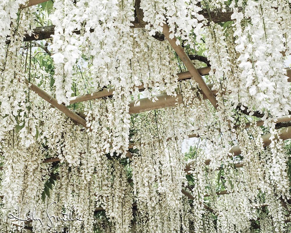 WISTERIA IN ASHIKAGA FLOWER PARK