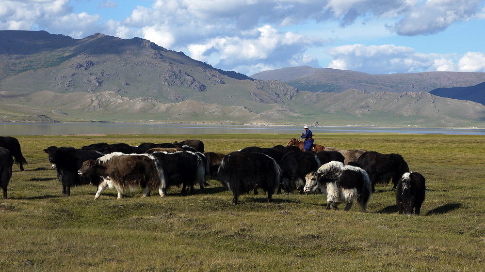 Yak with a herder in the Arkhanghai region of Mongolia, 11th August 2014