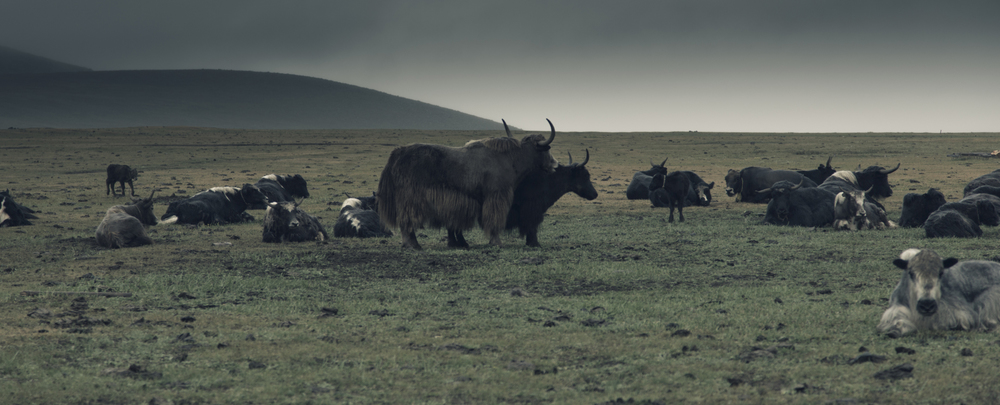 Group of yaks