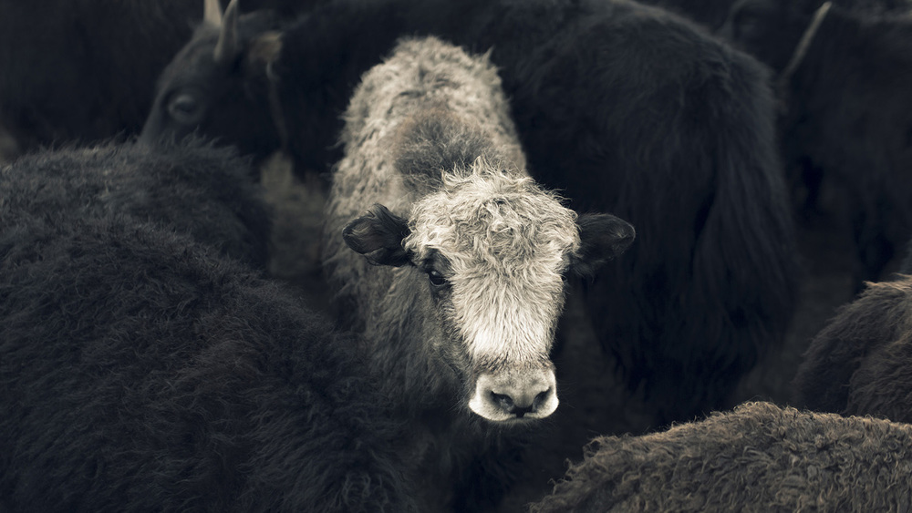 Tengri's Khanghai Noble Yarn® support an indigenous species of Khangai mountain yak, helping to protect and support biodiversity and enabling other wildlife to thrive.
