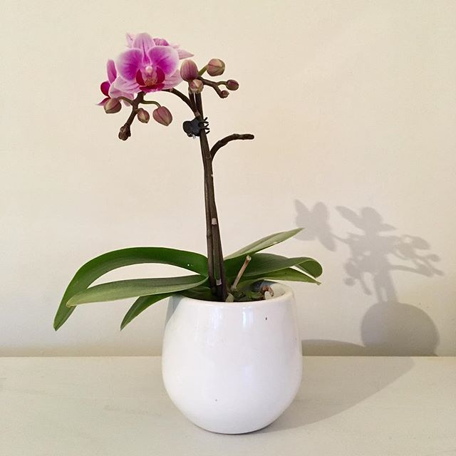 An orchid flower 🌷 that has lived and flowered again, this is a first for me 🤗#flowering #flowers #greenfingers #hopefully #stilllife