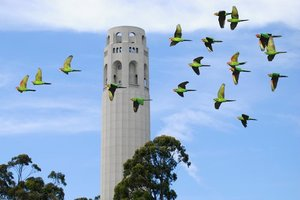 See the parrots of Telegraph Hill on the Filbert Steps.