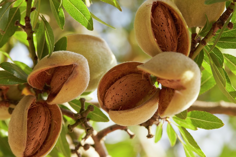 Photo of raw almonds opening up to show the hard almond shell. Trees are shaken to knock the nuts off the tree so that the nuts can be cracked! Photo by the Almond Board of California.