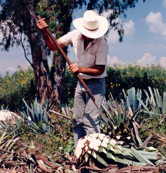 Picture of an agave farmer, photo from Wholesome Sweeteners