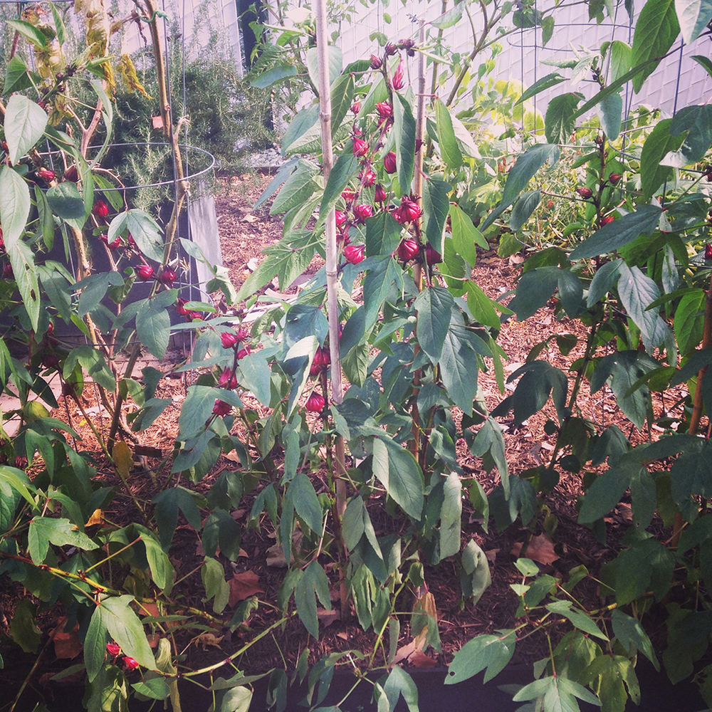 140817 hibiscus a.JPG