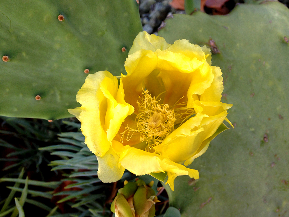 130810 opuntia sp. bloom c.JPG