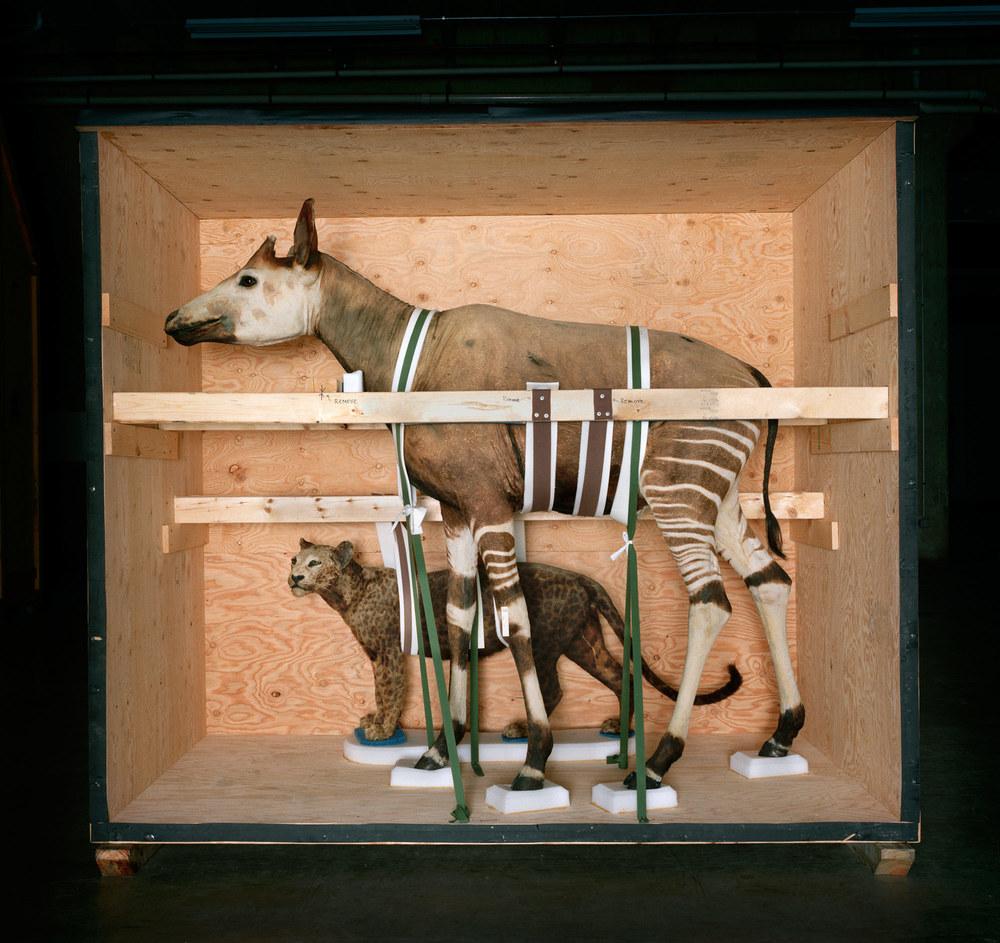 Smithsonian_Okapi_2005.jpg